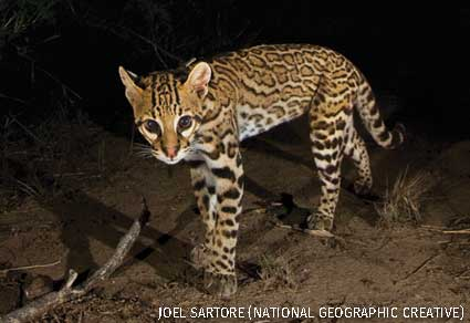 An ocelot (Leopardus pardalis) in South Texas