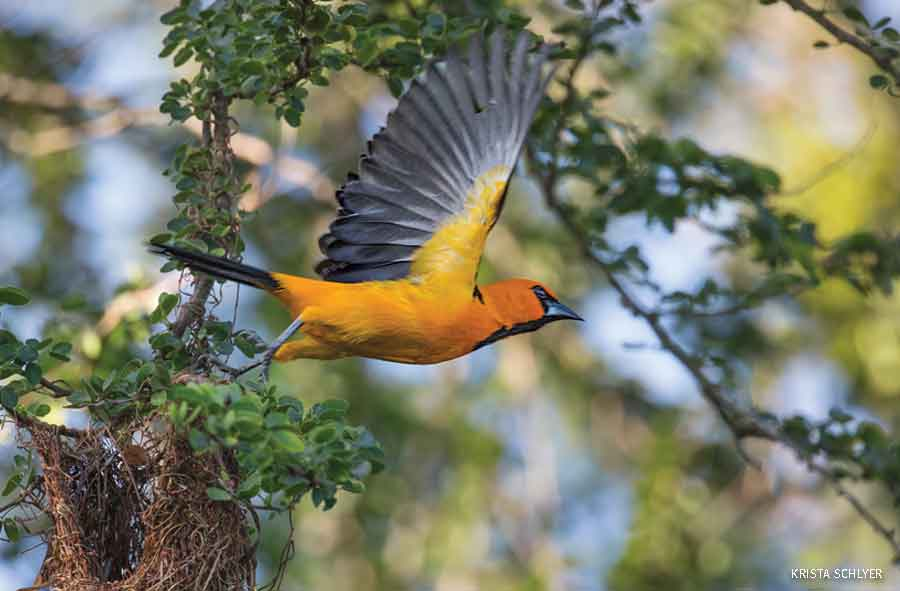 Altamira oriole,Lower Rio Grande Valley, Texas.