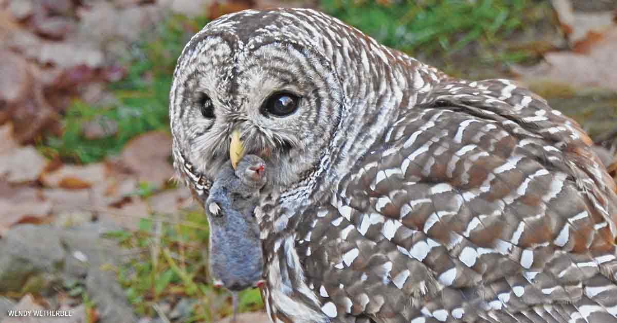 Barred Owl, Derry New Hampshire