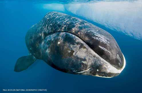 A bowhead whale surfaces from a dive at the floe edge, Lancaster Sound, Nunavut, CANADA.