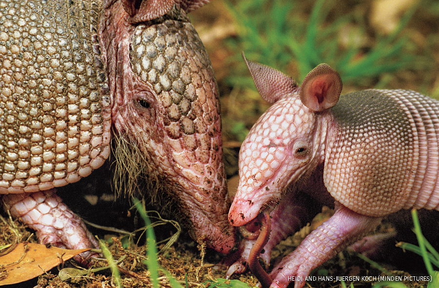 Nine-banded Armadillo mother with her four week old baby eating its first worm, Texas.