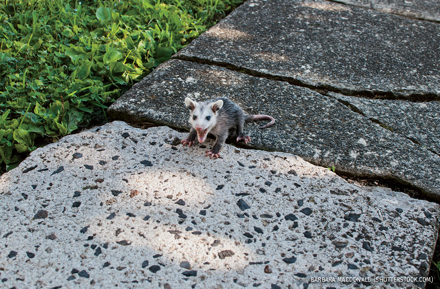 Baby opossum visiting backyard, Pottstown, Pennsylvania