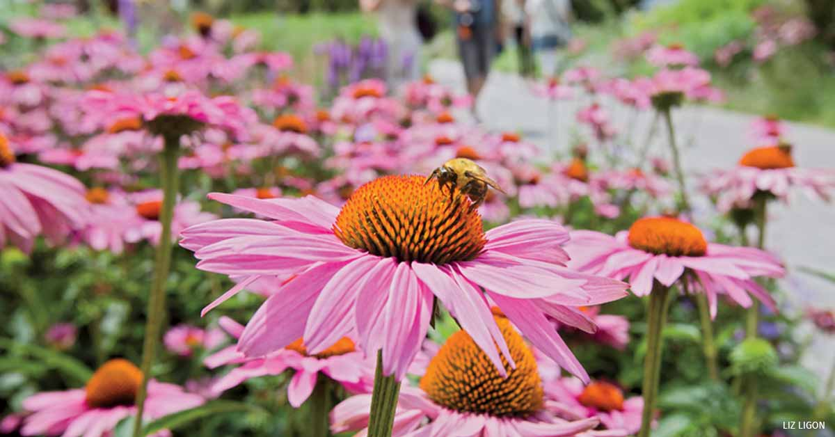 Common eastern bumblebee on purple coneflower.