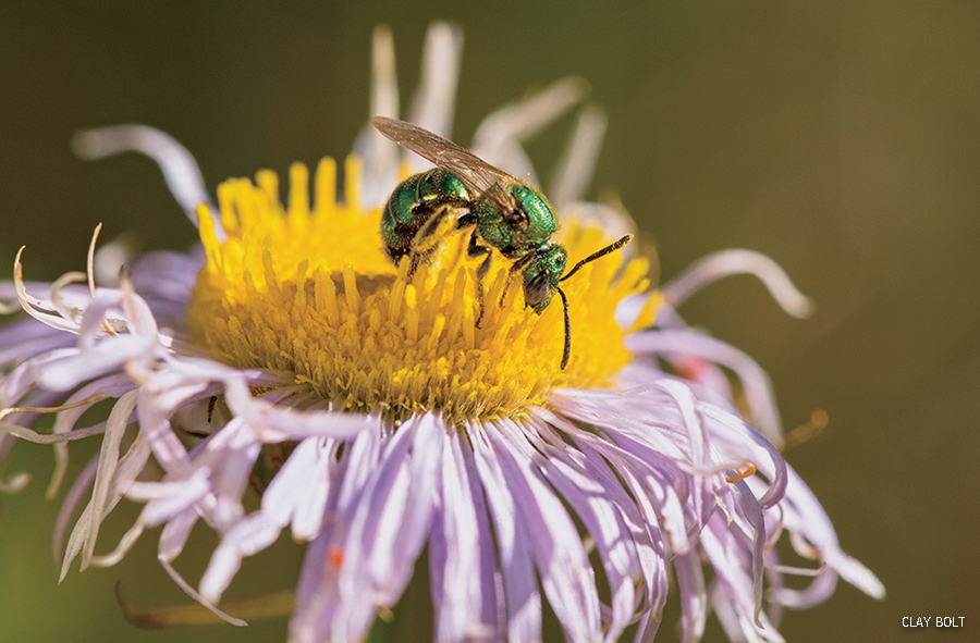 metallic green bee collects nectar and pollen from an aster