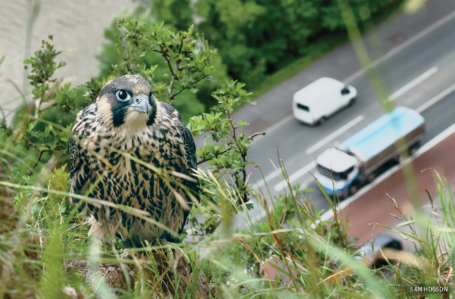 A juvenile peregrine falcon perched on a cliff above a busy main road and river in Bristol, UK