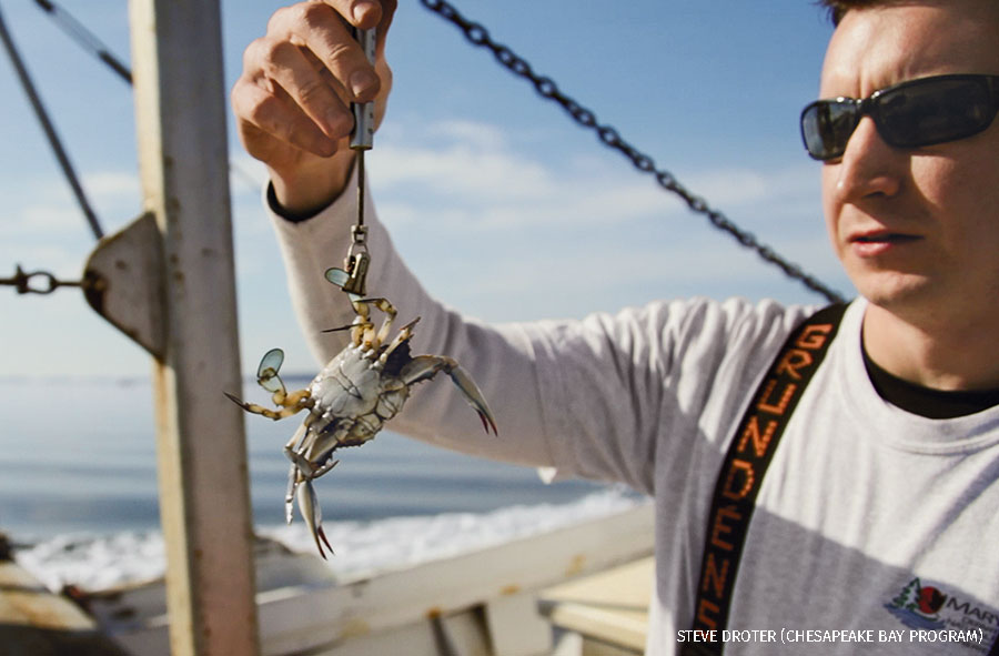 Maryland Department of Natural Resources biologist weighs a male blue crab during the 2012 winter dredge survey