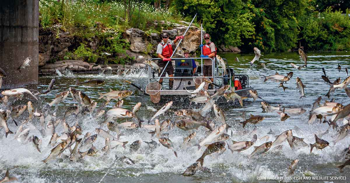 Stopping Carp Ripple Effects
