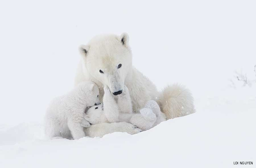 Baby Animals Second Place: Polar Bears