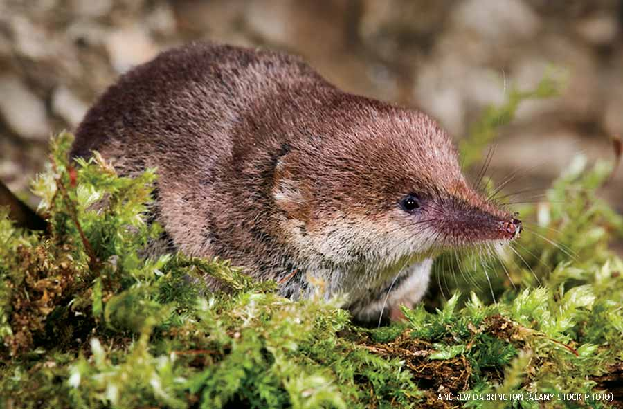 Common shrew on moss covered log