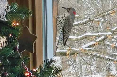Norther Flicker outside of home window