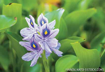 Water Hyacinth flowers
