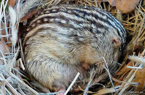 13-lined ground squirrel (captive)