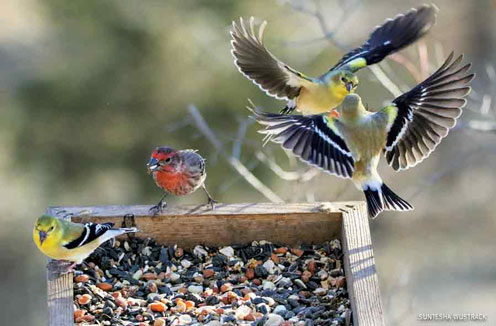 American Goldfinches and House Finch at feeder