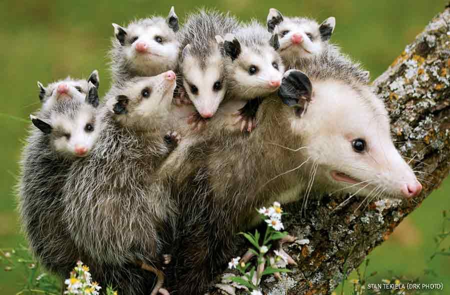 Opossum mother and brood