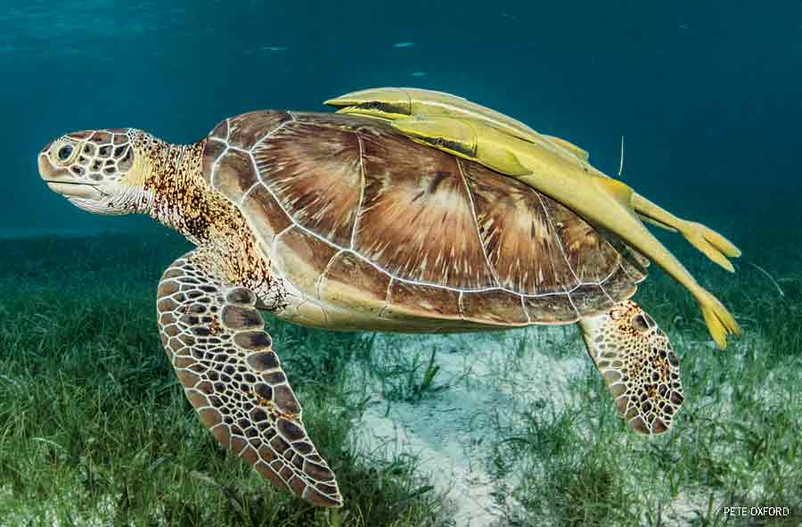 Green Sea Turtle and Remoras, Hol Chan Marine Reserve, Belize