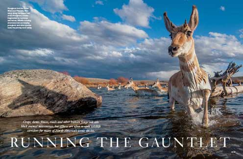 The Grand Teton pronghorn migration, Green River, Western Wyoming
