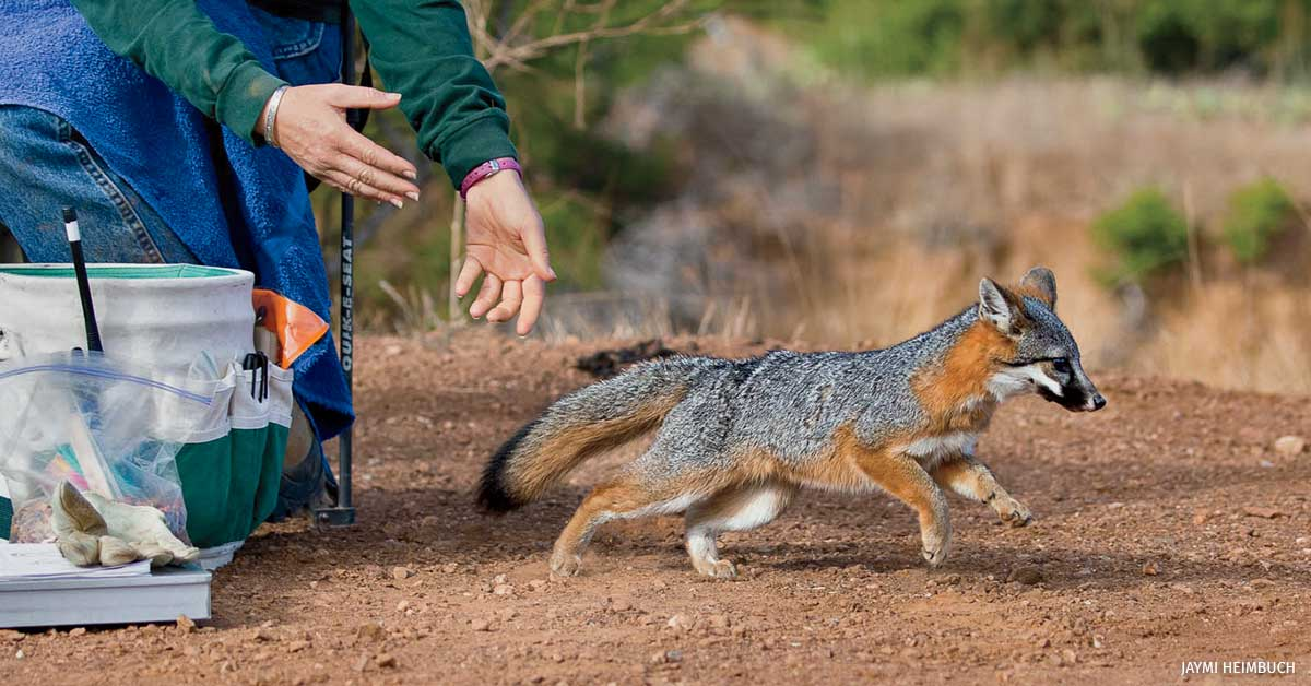 Island fox released after vaccination