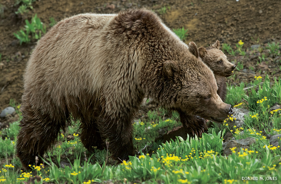 Grizzly Bear female and cub, Yellowstone National Park, Wyoming