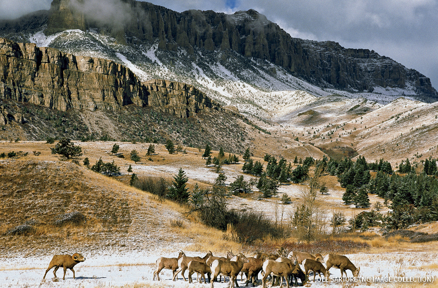 A herd of bighorn sheep on Montana's Rocky Mountain Front.