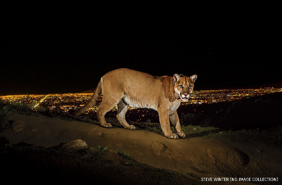 A remote camera captures a radio collared cougar in Griffith Park
