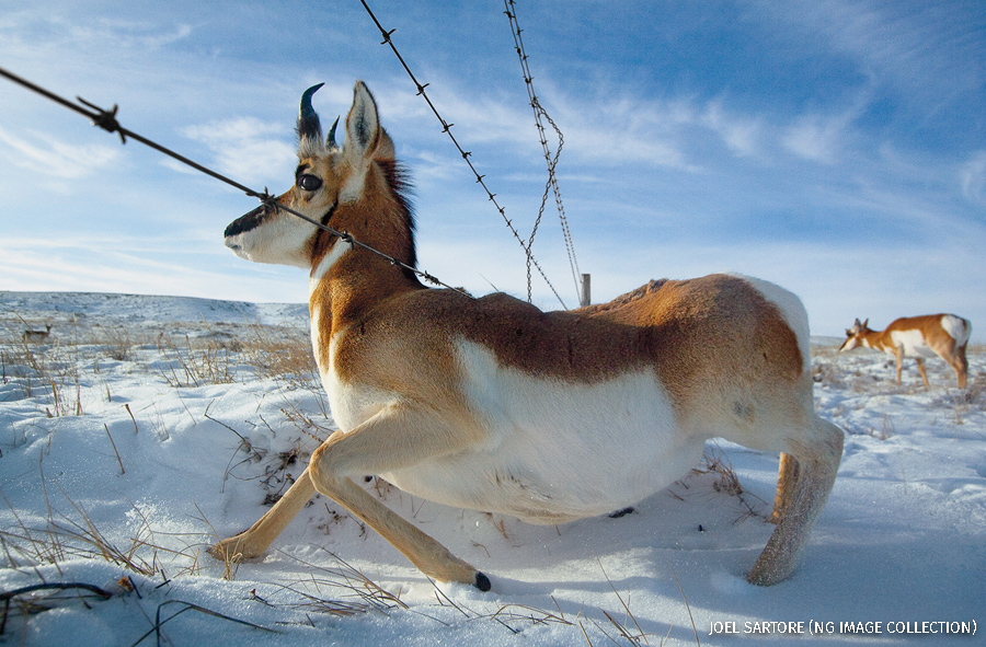 A barbed wire fence is an obstacle for migrating pronghorns, near Medicina Hat, Alberta, Canada.