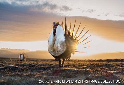Male sage-grouse, Pinedale, Wyoming