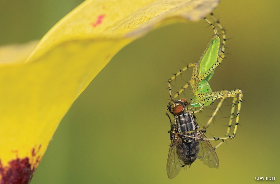 Pitcher plant flesh fly caught by green lynx spider on a yellow pitcher plant.