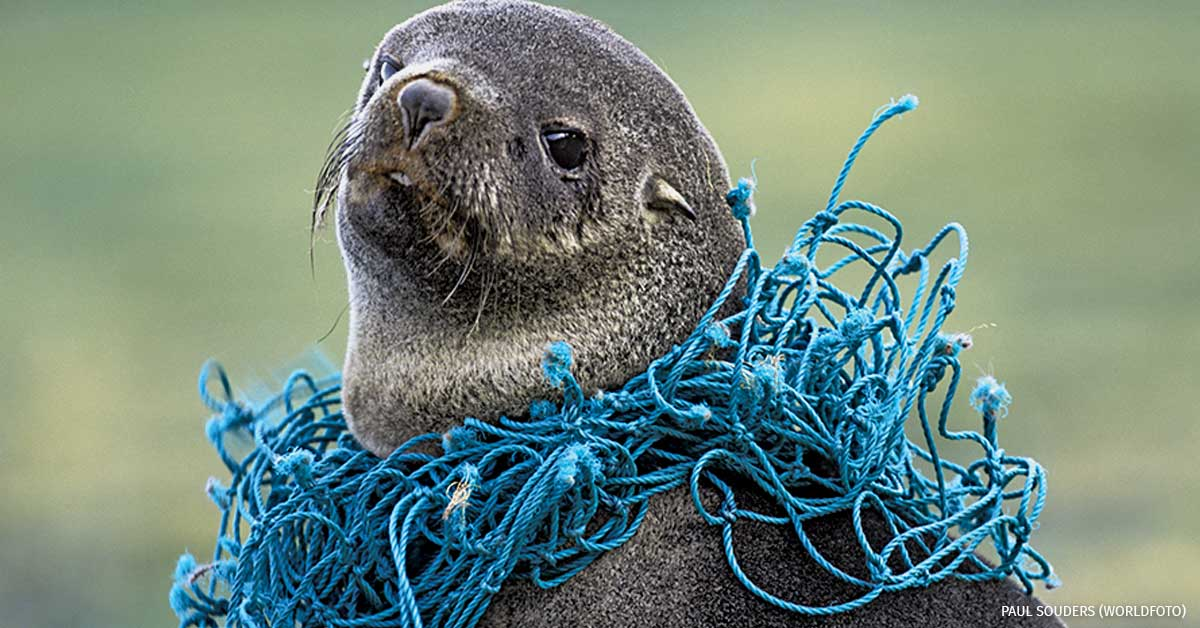 Antarctic fur seal with a deadly necklace of fish netting
