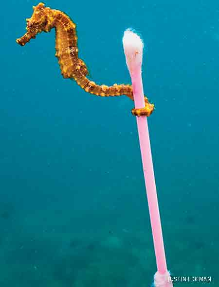 Seahorse with Q-tip, off the coast of the Indonesian island of Sumbawa