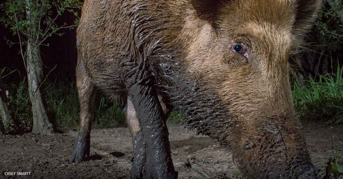 Feral hog portrait captured in 2015 by a sensor-triggered camera placed in a creek bottom in Atascosa County, Texas