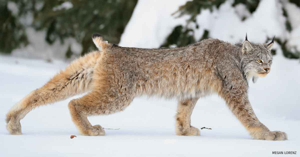 Wild Canada lynx stretching while walking, North Bay, Ontario