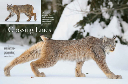 Wild Canada lynx stretching while walking, North Bay, Ontario; Inset bobcat walking the river bank, Yellowstone National Park