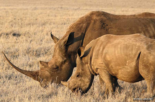 Black Rhinos, Lewa Downs, Kenya