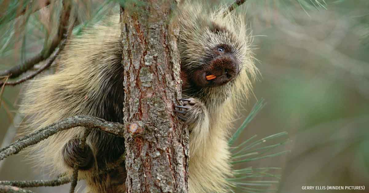 Common Porcupine climbing tree