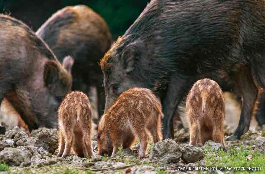 Feral pigs, sow and piglets rooting for food.