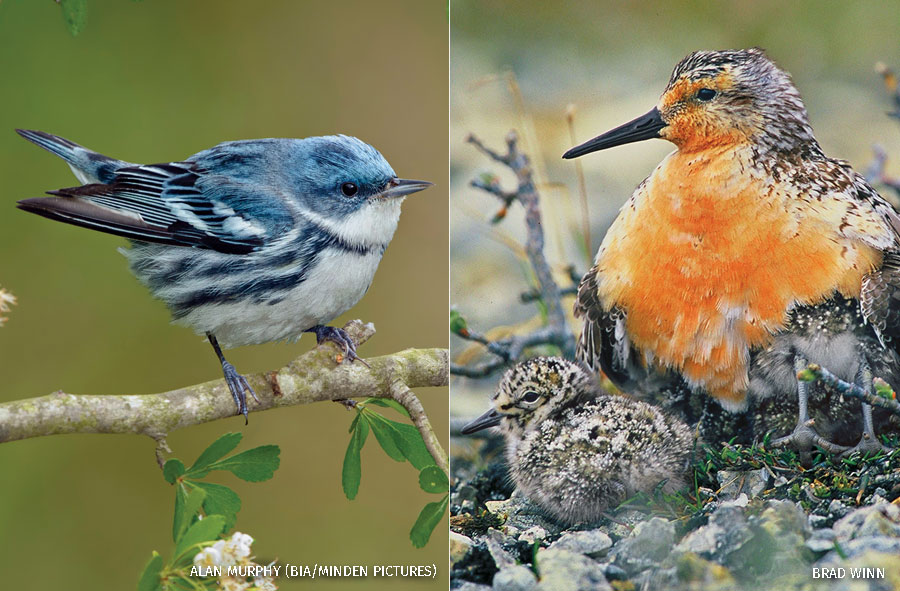 Cerulean Warbler male in Texas on the left and a red Knot parent and chicks near Hudson Bay on the right