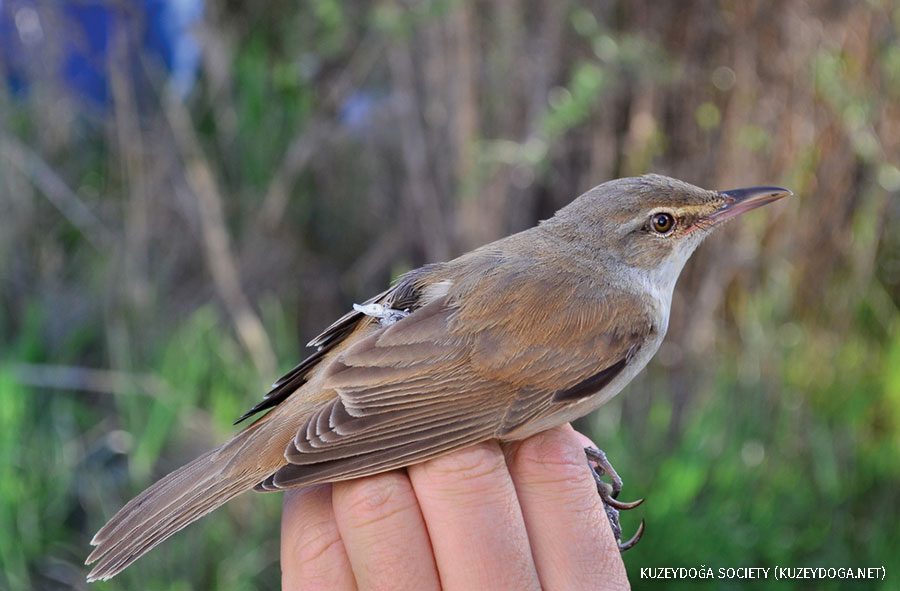 Great Reed-Warbler with tracking device, near the Aras River