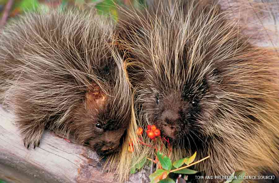 Porcupine with young (controlled conditions), Rocky Mountain Region.