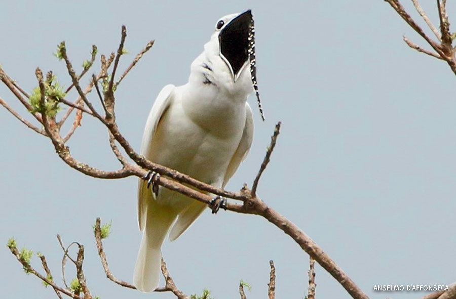A male white bellbird calling