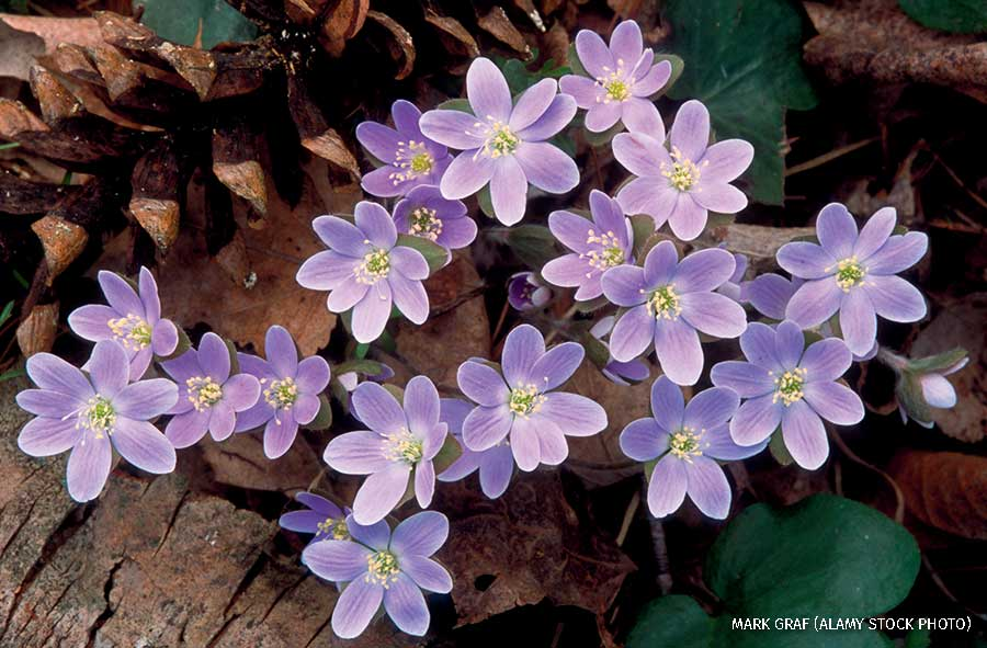 A purple hepatica plant