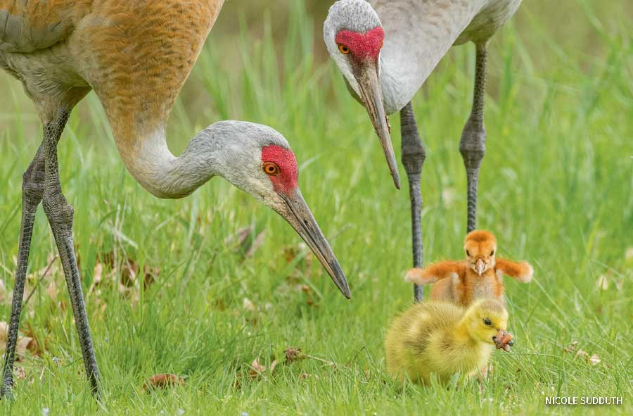 Two sandhill cranes with their offspring, including one Canada goose gosling