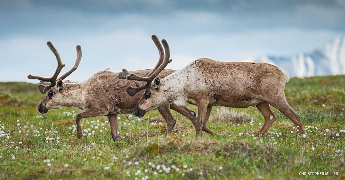 Barren-ground caribou from the Porcupine herd graze on cottongrass in the Arctic National Wildlife Refuge.