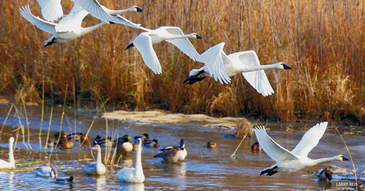 A flock of tundra swans in the Upper Mississippi Fish and Wildlife Refuge