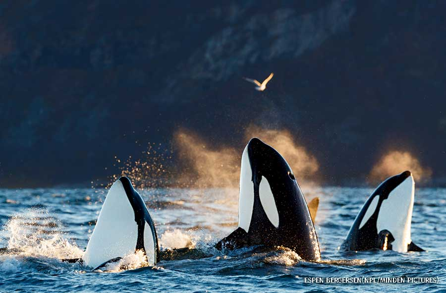 Killer whales in Kvaloya, Troms, Norway