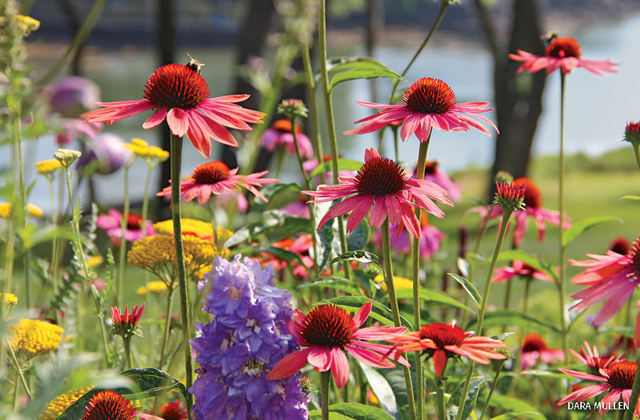 A Native coneflower garden