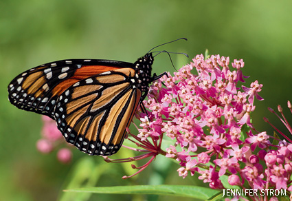 A Monarch Butterfly on milkweed in Roseville, MN.