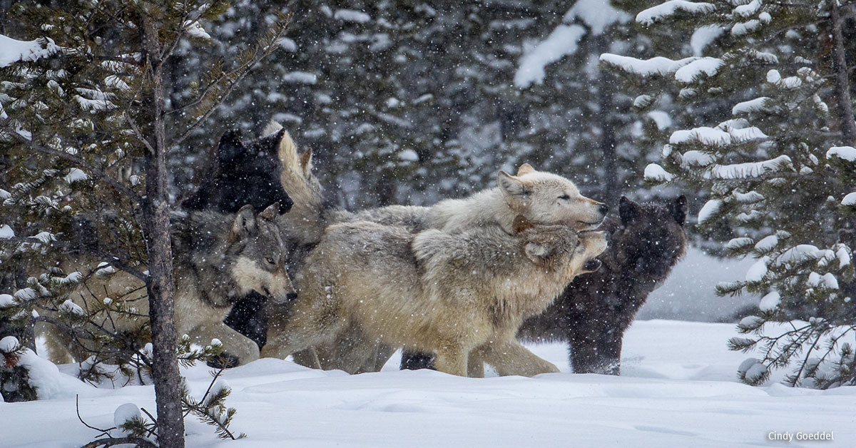 A pack of wolves walks through the snow