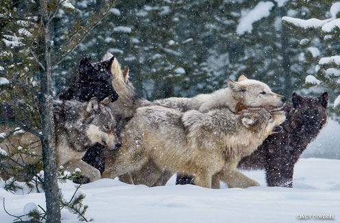 A wolf pack in snow