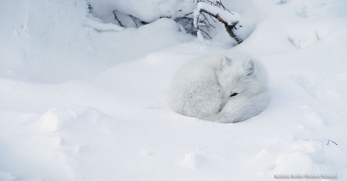 An arctic fox curled up in the snow