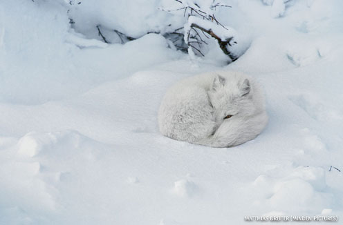 An arctic fox in snow